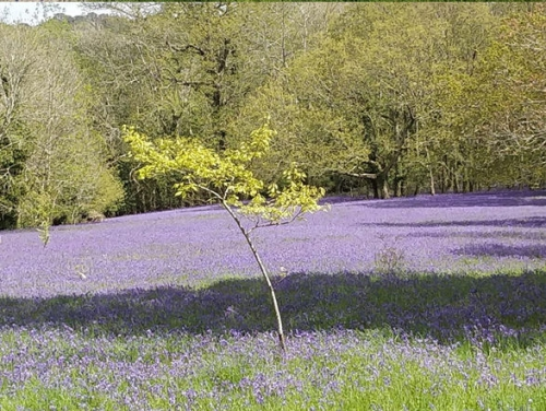 Trefusis Head & the Bluebells of Enys Gardens